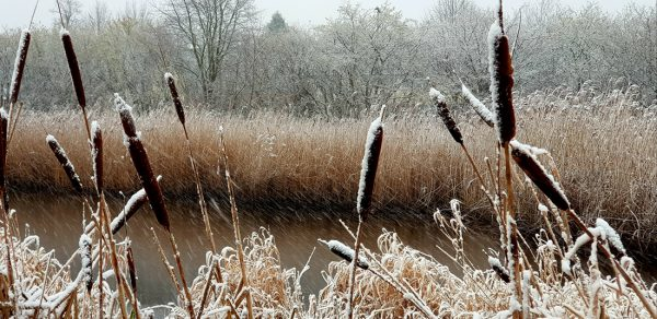 Bulrushes in the Snow by Andrea Palmer